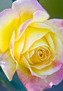 Rose close up of an open pink and yellow Royalty Free Stock Images