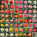 Rose collage with color arrangement Royalty Free Stock Image