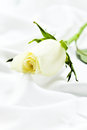 Rose de blanc Image stock