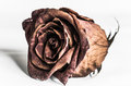 Rose in dying stage Royalty Free Stock Photo