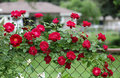 Rose on Fence Stock Image