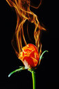 Rose on fire Royalty Free Stock Images