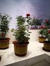 Rose Flower Exhibition