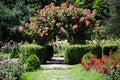 Rose flower gardening Stock Afbeelding