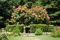 Rose flower gardening Stock Fotografie