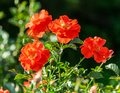 Rose flower grade matangi, unusual shape and bright color Royalty Free Stock Photo