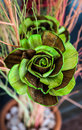 Rose flower made from banana stalk with green colour Stock Photos