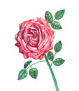 Rose flower red in watercolors Stock Photos