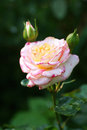 Rose flower in white yellow and pink in bud Royalty Free Stock Photo