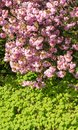 Rose flowers of blossoming cherry tree above green leaves on the bottom. Royalty Free Stock Photo