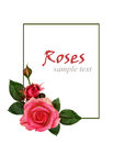 Rose flowers composition on white background Royalty Free Stock Images