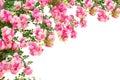 Ruže kvety izolované na bielom pozadí