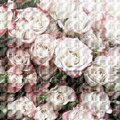 Rose flowers pale pink, square background