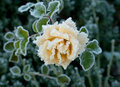 Rose and Frost Stock Images