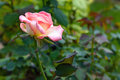 Rose in a garden beautiful Stock Photography