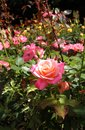 Rose garden beautiful in the afternoon light Royalty Free Stock Photography