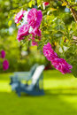 Rose garden blue wooden lawn chairs in a Stock Photos