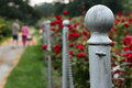 Rose garden fence post a metal in a with an older man and woman walking away in the distance Royalty Free Stock Photo