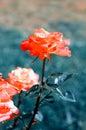 Rose in garden nice flower summer time Stock Photography