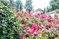 Rose garden in thailand Royalty Free Stock Images