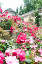 Rose garden in thailand Royalty Free Stock Photography
