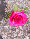 Rose growing out of tar road Royalty Free Stock Images