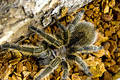 Rose-hair tarantula Royalty Free Stock Photos