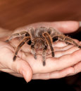 Rose hair tarantula Royalty Free Stock Photo