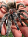 Rose hair tarantula in hand 2 Royalty Free Stock Photo