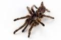 Rose haired tarantula molt spider