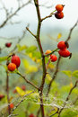 Rose hip Stock Photo