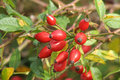 Rose-hip Royalty Free Stock Photography
