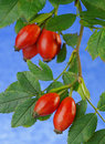 Rose hip close up hips against a mottled cloudy blue sky Stock Image