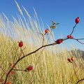 Rose hip in tall grasses branches with fruits green on sunny day with blue skies Stock Image