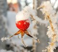 Rose hip under the snow Stock Images