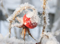 Rose hip under the snow Stock Image