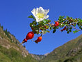 Rose hips blue sky on a background of Royalty Free Stock Images