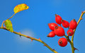 Rose hips from the bushes macro Royalty Free Stock Images