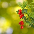 Rose hips on a green background closeup