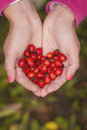 Rose hips at hand in the shape of heart autumn Stock Image