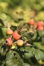 Rose hips red on bush Stock Photography