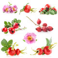 Rose hips rosa canina flowers and fruits isolated on white background Royalty Free Stock Photography
