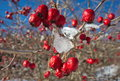 Rose hips twig with passed through the winter Royalty Free Stock Photography