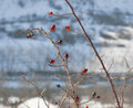 Rose hips in winter bush Stock Photos