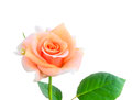 Rose isolated on white background closeup Stock Photos