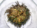 Rose of Jericho Royalty Free Stock Image