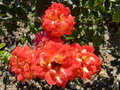 Rose krimskiy samosvet in the nikitsky botanical garden ukraine Stock Images