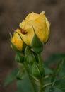 Rose and Ladybug Royalty Free Stock Photo