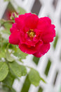 Rose in the Lattice