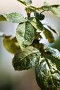 Rose leafs